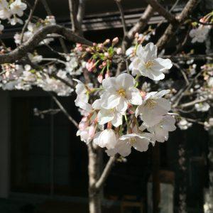 千代田ヴィレッジの桜