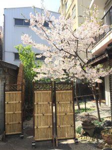 千代田ヴィレッジ中庭の桜